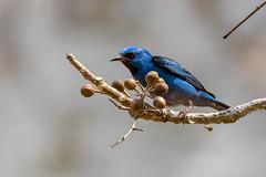 Blue Dacnis 20160306-DSC06398- Panama (GRH7447) Tags: panama bluedacnis metropolitannaturepark