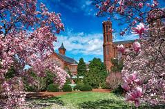 Magnolias at the Castle in DC (` Toshio ') Tags: flowers architecture washingtondc smithsonian dc nationalpark districtofcolumbia magnolia blooms smithsoniancastle toshio x100 magnoliatrees fujix100