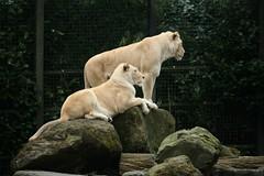 Witte leeuwen (tasj) Tags: zoo ouwehandsdierenpark