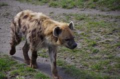 imgp7064 (Mr. Pi) Tags: netherlands animals zoo rotterdam blijdorp mammals