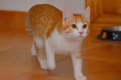 Gato Jinks  (15) (adopcionesfelinasvalencia) Tags: gato jinks
