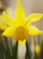 Narcis (Bakelaar en Waardenburg) Tags: flowers flower nature floral yellow garden fotografie natuur tuin garten bloemen narcis dafodil tuinen flowerphotography bakelaarenwaardenburg bloemenfotografie tuinfotografie
