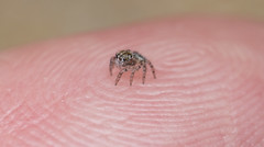 2168 Peacock Spider Maratus karrie (Jurgen Otto) Tags: