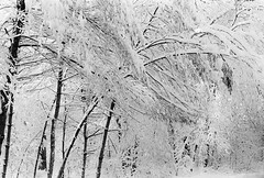 Leaning # 2 (SopheNic (DavidSenaPhoto)) Tags: trees blackandwhite bw snow monochrome iso200 snowstorm 35mmfilm hp5 ilford 50mmf18 selfdeveloped id1111 canonelan7e pullprocessed