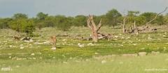Namibia 5_5442_edited-1 (arx7) Tags: africa camp elephant jackal lion pride ostrich adventure safari leopard fox rhino zebra antelope giraffe savannah endangered impala waterhole namibia herd lioness hyena eland oryx etosha springbok wildebeest dikdik windhoek savanna swakopmund walvisbay anant gamereserve kudu hartebeest herero blackrhinoceros gemsbok skeletoncoast damara steenbok bantu namibdesert naukluft etoshapan subsaharan etoshanationalpark namibnaukluft okaukuejo africanwildcat raut anantrautorg anantraut republicofnamibia republiknamibia anantrautcom republiekvannamibie kuneni dolomitehills blackbackedhyena