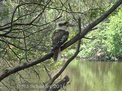 Kookaburra on a tree (Su_G) Tags: bird nature sydney australia kookaburra australianwildlife 2015 australianbird sug lanecovenationalpark sydneynsw kookaburraonatree