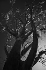 Glow leaves (Ramesh Adkoli) Tags: bw landscape ir blackwhite capturenx madhurekere d800e