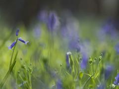 Symphonie en bleu **--- ° (Titole) Tags: jacinthesdesbois bluebells blue green titole nicolefaton shallowdof thechallengefactory