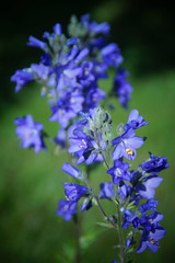 Blue Reminder (Sergei P. Zubkov) Tags: flower june 2014 terijoki