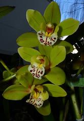 Cymbidium Unknown [Father Michael #8] hybrid orchid (nolehace) Tags: cymbidium unknown father michael 8 hybrid orchid 216 winter nolehace fz35 flower bloom plant sanfrancisco