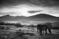Lago di Campotosto, wild horses (jimmomo) Tags: horses mountains sunrise haze italia wildlife montagna cavalli animali biancoenero abruzzo campotosto