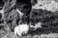 nes / donkeys - Miam-miam ! (BriceLahy) Tags: white black nature animal animals nikon donkeys donkey 1855 paysage animaux tamron et blanc paysages ane noire 70300 nes anes