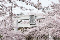 (Wunkai) Tags: japan  cherryblossom sakura  izumi    ibarakiken  atagoshrine kasamashi