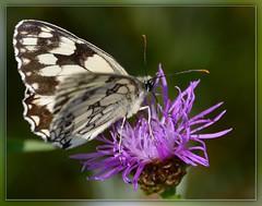 Die Saison kann kommen ... (Harald52) Tags: tiere natur insekten schmetterlinge schachbrett tagfalter