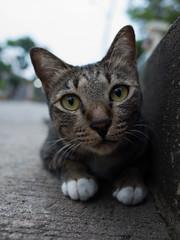 I0000307 (tatsuya.fukata) Tags: animal cat thailand samutprakan