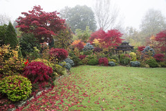 The beauty of acer leaves in autumn (Four Seasons Garden) Tags: uk flowers blue autumn red england colour green english leaves yellow garden four japanese maple seasons award foliage national begonia deciduous winning walsall 2015 acers