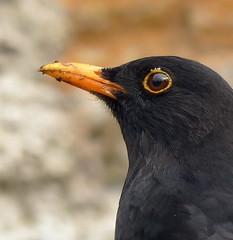 Blackbird (m) (Tom Kennedy1) Tags: turdusmerula blackbird gardenbirds gardenwildlife irishwildlife irishwildbirds