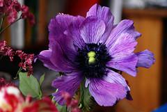 Purple (gornabanja) Tags: plant flower nature beauty nikon pretty purple d70 violet