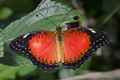 Red Lacewing / Vlinder / Cethosia biblis (Greeney5) Tags: macro butterfly insect insects lepidoptera lacewing vlinder insecten nymphalidae vlindertuin heliconiinae redlacewing cethosia cethosiabiblis tropischevlindertuin vlindertuinkleincostarica kleincostarica