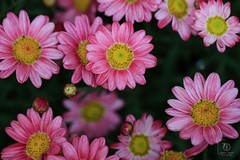 Everyday Flowers (Nabiha Hajaig) Tags: pink red lebanon flower macro nature spring pretty purple 100mm wildflowers beirut daizy canon7d