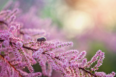 Morning sun (Psztor Andrs) Tags: pink light sky hairy sun flower tree nature water grass sunrise bug insect lens photography drops bush nikon hungary mood dof bokeh atmosphere dreamy shallow manual dslr russian helios andras pasztor m442 d5100
