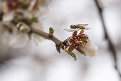 0518-2016-BR (elfer) Tags: madrid espaa flores insectos almendros rivasvaciamadrid parqueregionaldelsureste