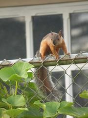 Ardilla (Jorge Solís Campos) Tags: naturaleza nature animal fauna squirrel costarica wildlife wildanimal ardilla mamífero roedor animalsalvaje pérezzeledón vidasalvaje