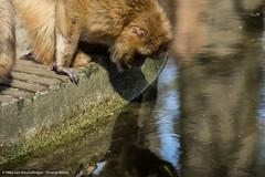 Roadtrip 28 & 29-04-'16 (Mike van Houwelingen - DiverseMediaNL) Tags: holland netherlands dutch zoo monkey media diverse nederland roadtrip monkeys aap rhenen ouwehands dierentuin dierenpark apen nederlandse aapjes ouwehand diversemedia diversemedianl rt28290416