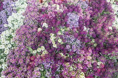 20160424 Provence, France 02602 (R H Kamen) Tags: flowers plants france market abundance alyssum marketstall vaucluse carpentras provencealpesctedazur rhkamen