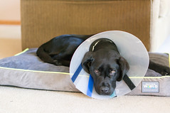 DSC02102.jpg (cadillacjr2002) Tags: dog labrador clancy