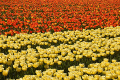 Translucent tulips (cklx) Tags: red holland yellow spring tulips may tulip april brightcolors tulpen noordwijkerhout tulp lisse 2016 bollenstreek hillegom wassergeest