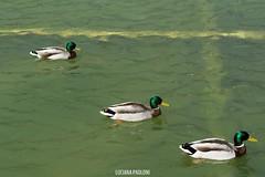 Paris (Luciana Paoloni) Tags: paris france birds ducks francia patos