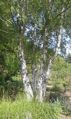 (sftrajan) Tags: berkeley bark botanicalgarden arbre jardinbotanico birchtree jardinbotanique botanischergarten betulapendula ogrdbotaniczny europeanwhitebirch arblol universityofcaliforniabotanicgarden mediterraneanplantsgarden