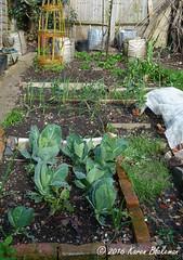 April 16th, 2016 Back garden - zones 2 and 3 (karenblakeman) Tags: uk vegetables garden onions garlic april caversham cabbages 2016 brassicas cavershamgarden 2016pad