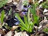 Gartenflüchter oder Verschleppte ;-) (happycat) Tags: germany thüringen jena blau hyazinthe