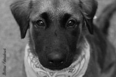 (BFahrenbruch) Tags: blackandwhite beautiful beauty puppy photography blackwhite lovely dogphotographer arizonaphotographer
