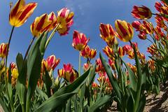 Tulip in Bampaku-park (nak.viognier) Tags: tulip osaka   bampakupark lumixgfisheye8mmf35 olympusepl3