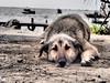Lying on the ground (Nikos Karatolos) Tags: dog pet animal thessaloniki kalochori sea boats background blur greece