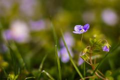 Spring Flower (xxremixx) Tags: flowers flower macro germany t bayern deutschland bavaria bokeh sony 14 tube pflanze 85mm blumen ii extension blume makro a7 nahaufnahme planar carlzeiss zwischenringe