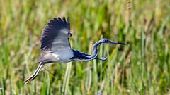 20160428-_74P2695.jpg (Lake Worth) Tags: bird nature birds animal animals florida outdoor wildlife wing feathers wetlands everglades waterbirds southflorida birdwatcher canonef500mmf4lisiiusm canoneos1dx