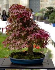 Red Maple Webbed (M_Theory) Tags: red tree maple bonsai jar rosso vaso acero webbed palmato nikond3300 acerorossopalmato redmaplewebbed