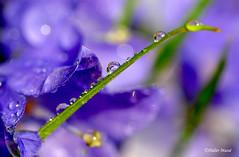 Perles de rosée sur un brin d'herbe avec campanules  Explore 18/04/16 (didier95) Tags: macro fleur vert bleu goutte rosee herbe campanule gouttesdeau fleurbleue perlesderosee
