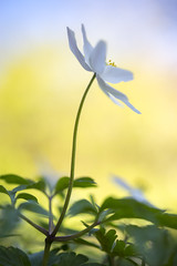 Wood Anemone (Keartona) Tags: wood light england white flower nature floral sunshine garden spring stem anemone shade delicate wildflower dainty woodanemone