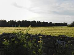 g r a i n (dadoph_) Tags: sky sun nikon grain cielo coolpix campo sole puglia ulivi grano p500 margherite 2016 allaperto campodigrano