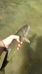 (natashaeng) Tags: fishing maryland flyfishing patuxent patuxentriver creekchub notatrout
