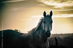 _DSC8884-Editar-2 (Izaias Lus) Tags: brasil caballos photography photographie cavalos equestrian equine nordeste chevaux equino haras equestre garanhunspe
