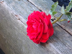 Rose is a rose, is a rose, is a rose... (~Miel) Tags: amsterdam rose rosa flower fiore natura nature wood legno vacanze holidays summer nikon coolpix l810 red rosso petali