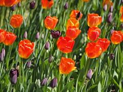 mozirski-gaj_39 (carlo) Tags: flowers olympus slovenia slovenija fiore botanicalgarden omd em1 ortobotanico giardinobotanico mozirje mozirskigaj