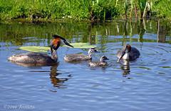 Lunchtime ( Annieta ) Tags: bird water netherlands spring ditch sony ngc nederland april polder lente oiseau ee allrightsreserved vogel grebe sloot fuut 2016 krimpenerwaard annieta a6000 usingthispicturewithoutpermissionisillegal