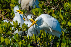 Braden River Rookery Great Egret 04-21-2016 (Jerry's Wild Life) Tags: florida great egret bradenton greategret egrets greategrets wadingbirds wadingbird manteecounty juvenilegreategret bradenriver younggreategret juvenilegreategrets bradenriverrookery younggreategrets